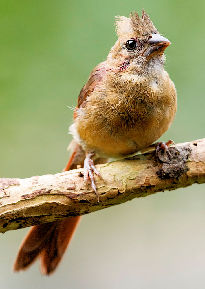 Juvenile Northern Cardinal - Photo by NPS/N. Lewis