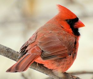 Male Northern Cardinal - Photo by DaPuglet Pugs