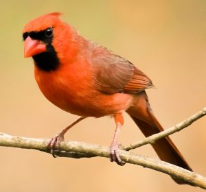 Male Northern Cardinal - Photo by Thomas