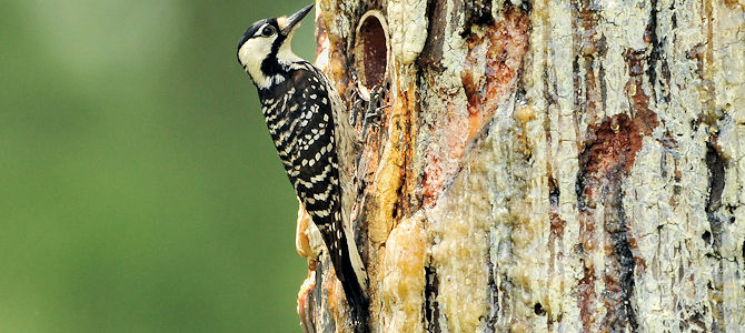 Red-Cockaded Woodpecker - Photo by Ed Schneider