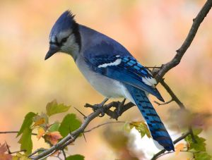 Blue Jay in Autumn Colors - Photo by Jen Goellnitz