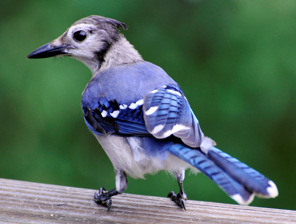 Blue Jay - Juvenile - Photo by likeaduck