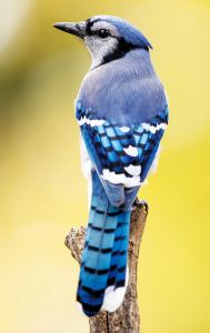 Blue Jay - Photo by NPS | N. Lewis