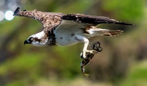 Osprey With a Catch - Photo by texaus1