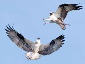 Osprey Duet - Photo by Reed George