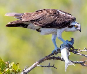 Osprey With a Meal - Photo by Larry Hennessy