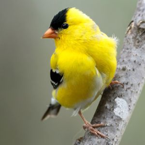 Male American Goldfinch - Photo by NPS | N. Lewis