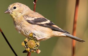 Goldfinch with Seed Head - Photo by John Benson
