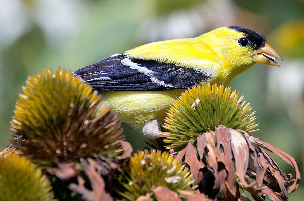 American Goldfinch on Coneflowers - Photo by C Watts