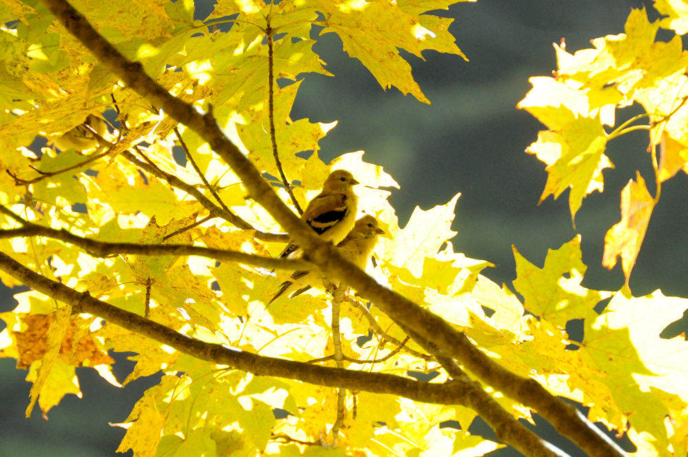 Goldfinches in Golden Leaves - Photo by Jerry Hiam