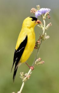 American Goldfinch - Photo by Laura Wolf
