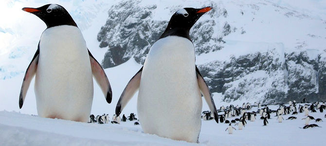Gentoo Penguins - Photo by David Stanley