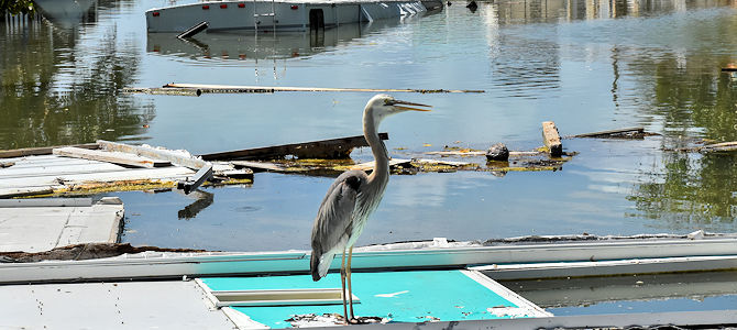 Great Blue Heron in Hurricane Irma Debris - Photo by Cammy Clark/Monroe County BOCC
