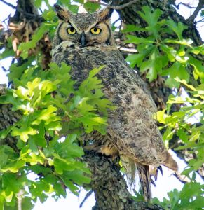 Summer Great Horned Owl - Photo by Larry Smith
