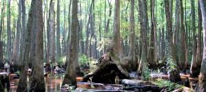 Arkansas Bayou Swamp - Photo by Cyndy Sims Parr