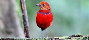 Blue-Banded Pitta - Photo by andrew eagle