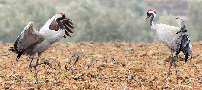 Common Crane Mating Dance - Photo by Gary Leavens