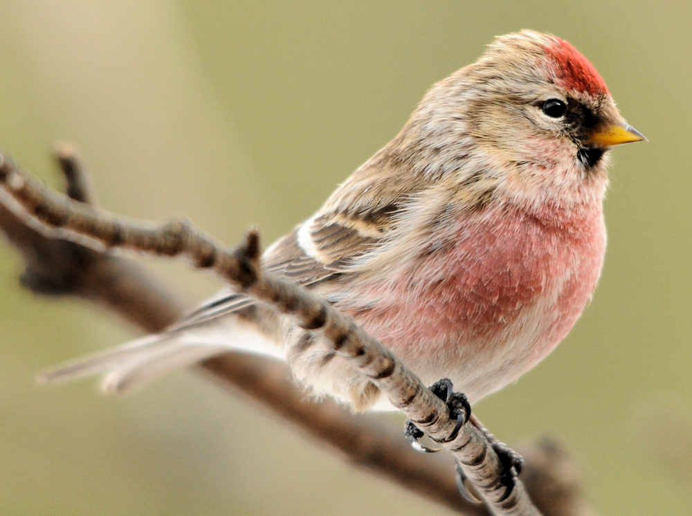 Common Redpoll - Photo by Jerry Hiam
