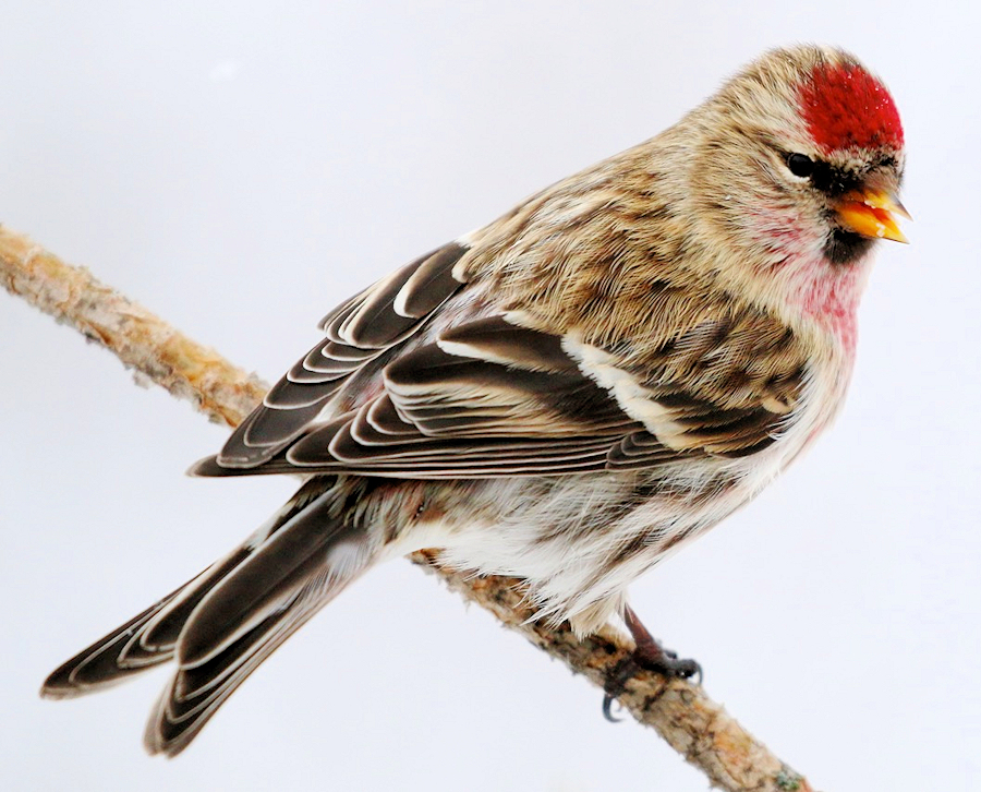 Common Redpoll Portrait - Photo by dfaulder