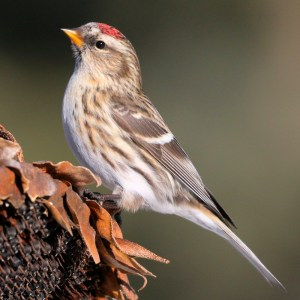 Common Redpoll on a Sunflower - Photo by dfaulder