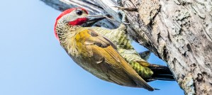 Golden-Olive Woodpecker - Photo by PEHart