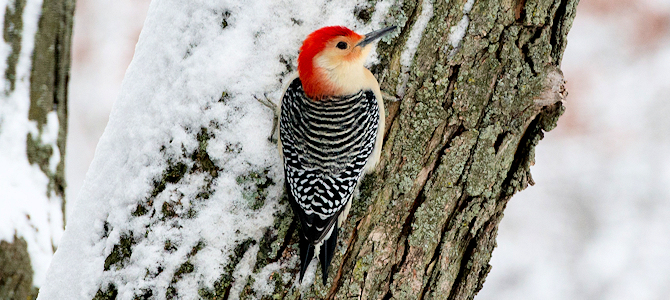 Winter Red-Bellied Woodpecker - Photo by Mark Baylor