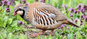 Red-Legged Partridge - Photo by Smudge 9000