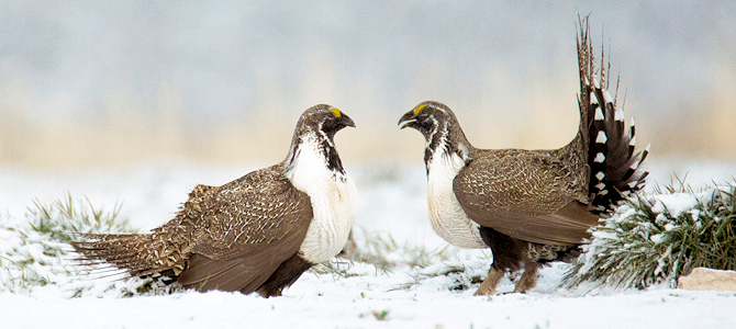 Sage-Grouse in Winter - Photo by US Forest Service