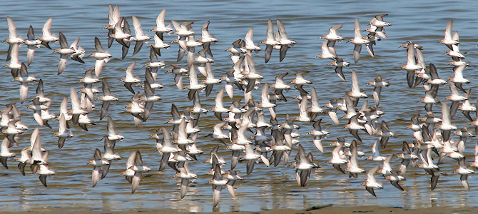 Way More Than 11 Sandpipers - Photo by liquidcrash