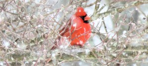 Winter Northern Cardinal - Photo by Virginia State Parks