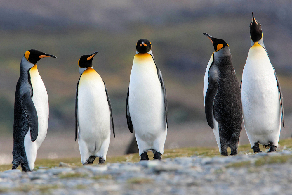 King Penguins - Photo by nomis-simon