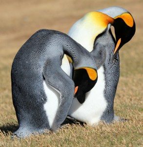 King Penguins Preening - Photo by Liam Quinn