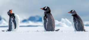Giggles With the Gentoo Penguins - Photo by Paul Balfe