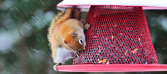 Red Squirrel Raiding a Feeder - Photo by Courtney Celley/USFWS