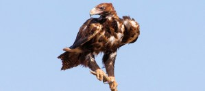 Wedge-Tailed Eagle - Photo by Ron Knight