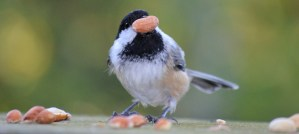 Black-Capped Chickadee With Peanut Heart - Photo by USFWS Midwest Region