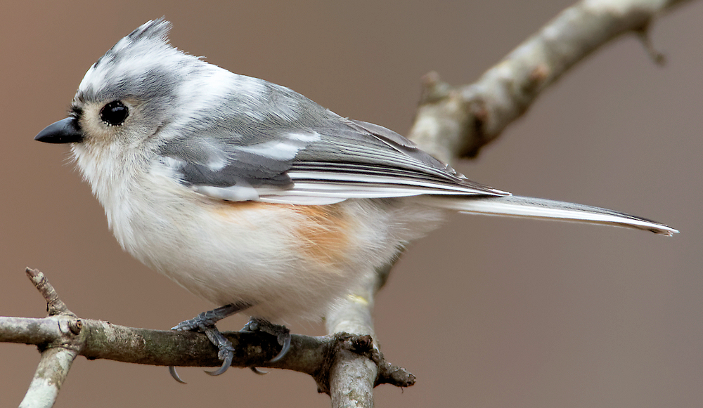 Leucistic Tufted Titmouse - Photo by Rick from Alabama