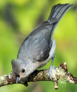 Juvenile Tufted Titmouse - Photo by Rick from Alabama