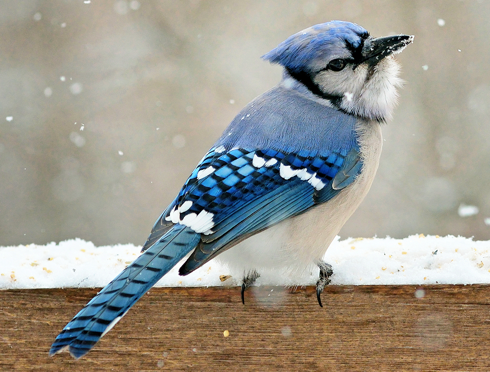 Blue Jay (Cyanocitta cristatus) - Photo by Kim Taylor Hull