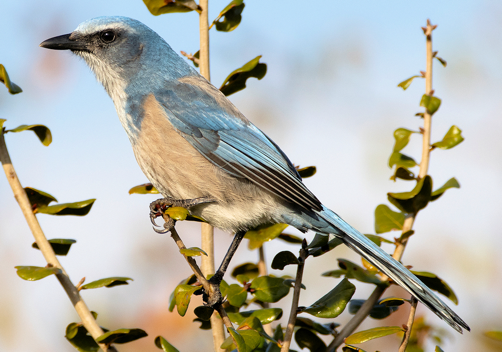 Florida Scrub-Jay (Aphelocoma coerulescens) - Photo by Andy Wraithmell