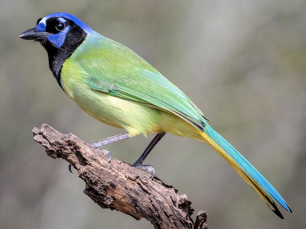 Green Jay (Cyanocorax yncas) - Photo by Andy Morffew