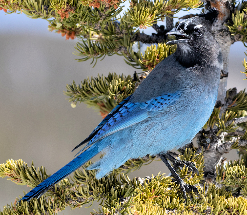 Steller's Jay (Cyanocitta stelleri) - Photo by Ryan Mandelbaum