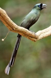 Racket-tailed Treepie (Crypsirina temia) - Photo by Michael Gillam