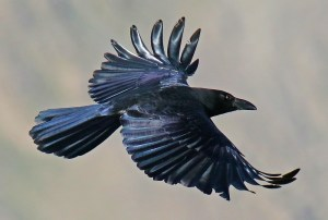 Large-Billed Crow (Corvus macrorhynchos) - Photo by Imran Shah