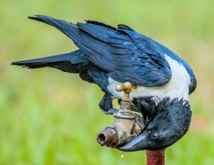 Pied Crow (Corvus albus) - Photo by Pete Richman