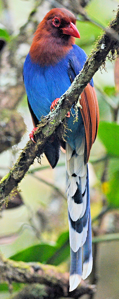 Sri Lanka Blue Magpie (Urocissa ornata) - Photo by Ekaterina Chernetsova (Papchinskaya)