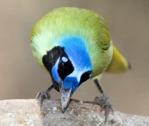 Curious Green Jay - Photo by Dan Pancamo