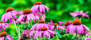 Purple Coneflowers - Photo by Tom Stovall, Meadowlark Botanical Gardens