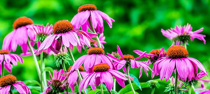 Purple Coneflowers - Photo by Tom Stovall, Meadowlark Botanical Gardens