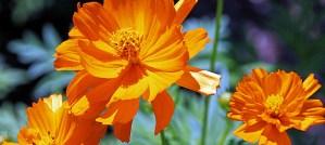 Orange Cosmos - Photo by scott1346